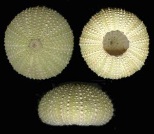 Esoscheletri di Paracentrotus lividus (da www.naturamediterraneo