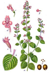 Calamintha nepetella