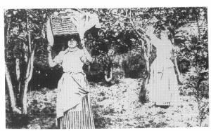 La raccolta dei limoni,Francia 1900 ca.