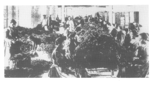 Lavorazione delle mimose,nella fabbrica di profumi a Grasse, 1900 ca.