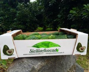 Produzione di avocado in Sicilia