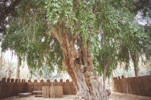 albero-di-giuggiolo-ziziphus-mauritania