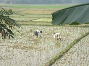 4-risaie-nelle-campagne-di-kalkini-madaripur-ph-della-puppa
