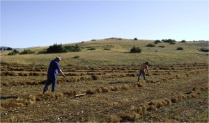. Altopiano di Rascino - Le andane di lenticchie prima della raccolta (agosto 2016, foto Broccolini).
