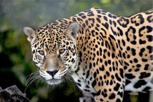 Jaguar-amazonien