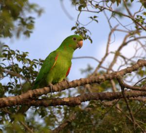 Conure-pavouane-Psittacara-leucophthalmus