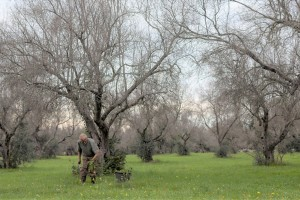The olive trees of Puglia in the time of Xylella