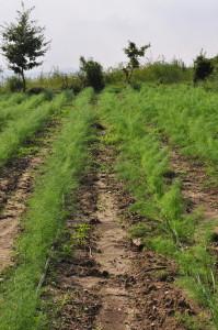 foto3-coltivazione-in-biodinamica-2