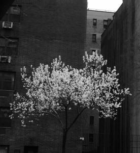 ciliegi-in-citta-nyc-foto-di-f-schiavo