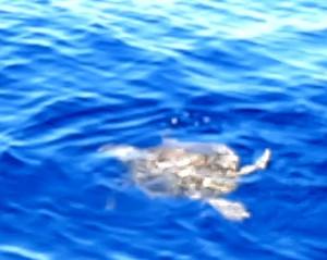 6-una-tartaruga-marina-caretta-caretta