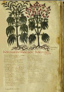 dioscorides-pedanius