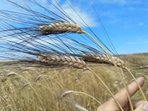 grano-cappelli-coltivato-dalla-coop-s-nicolo-gerrei_1