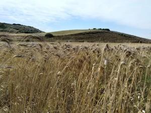 grano-cappelli-coltivato-dalla-coop-s-nicolo-gerrei_2