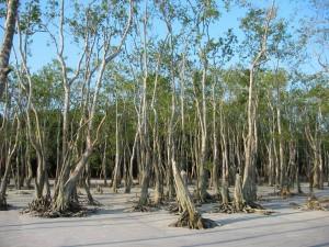 mangrovie-delle-sundarbans