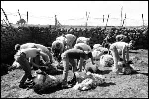 07-inizia-il-lavoro-di-tosatura-da-parte-degli-esperti-pastori-foto-nino-privitera