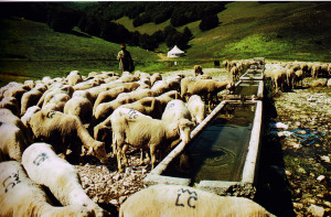 lollini-pecore-abbeveratoio
