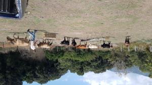 Jean-Charles Adami e i suoi bovini, agosto 2018 (ph. Flavio Lorenzoni)
